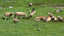 Especieres-Vautours-Vaches-Moutons_002