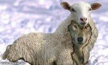 mouton-loup1