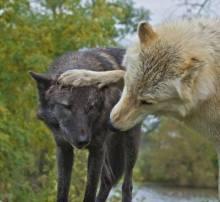 le loup mon pote