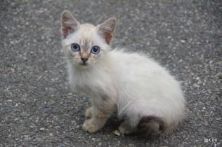 chat blanc d'Emir