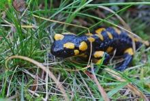 salamander-1126591_1280