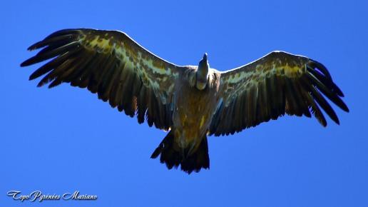 Un autochtone : le vautour fauve