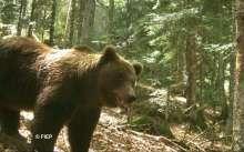 l-ours-cannelito-11-ans-entre-les-vallees-d-aspe-et-d-ossau